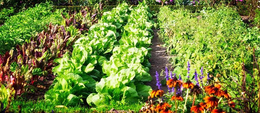 autumn veg garden